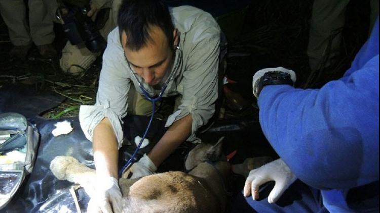 Atraparon al puma que merodeaba el Parque Nacional Iguazú