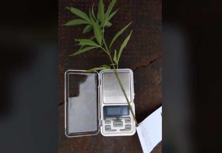 Policía secuestra planta de marihuana que crecía en una plaza en Campo Grande
