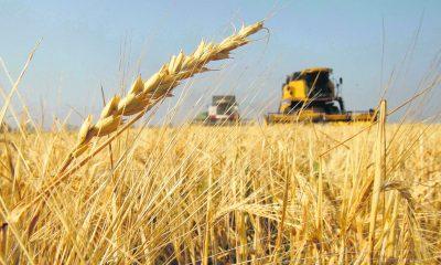 Argentina es el primer país del mundo en aprobar el trigo transgénico