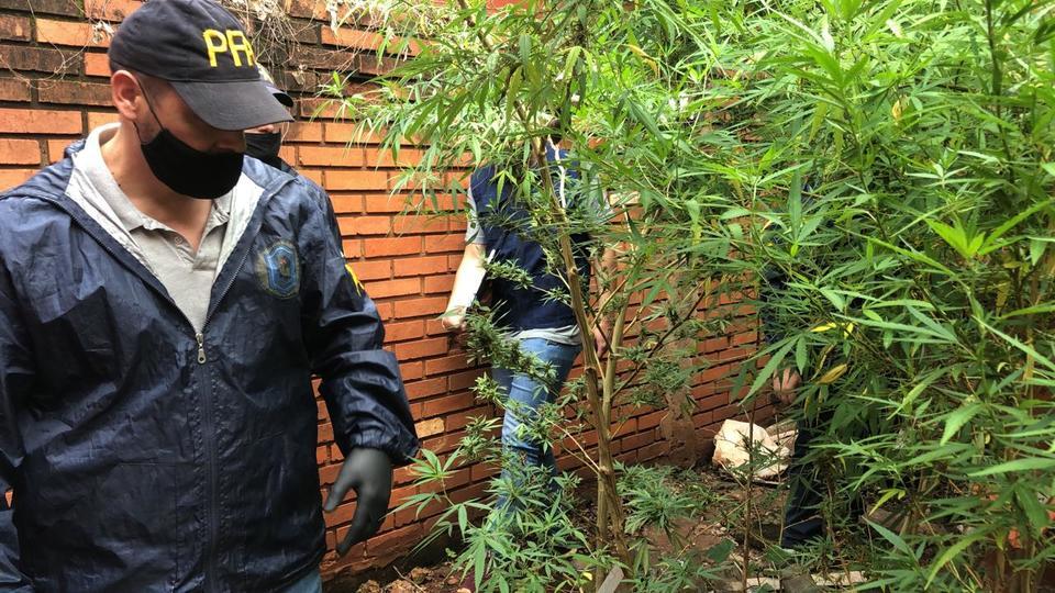 La Federal allanó una casa en Iguazú y secuestró 10 plantas de marihuana