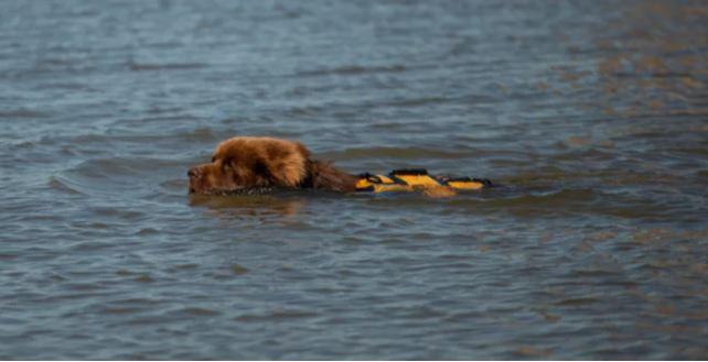 El perro rescatista de Corrientes salvó a un nadador de la muerte