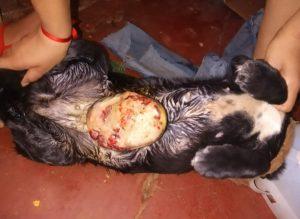 Juntan fondos para salvarle la vida a perrita posadeña con cáncer