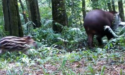 Captan a tapir con su cría en el Parque Provincial Urugua-í, en el Norte de Misiones
