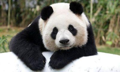 El panda gigante deja de estar en peligro de extinción