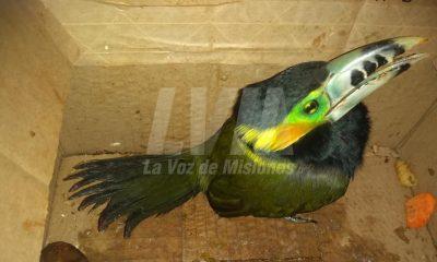 Vecina de Oberá encontró un arasarí chico, una rara variedad del tucán