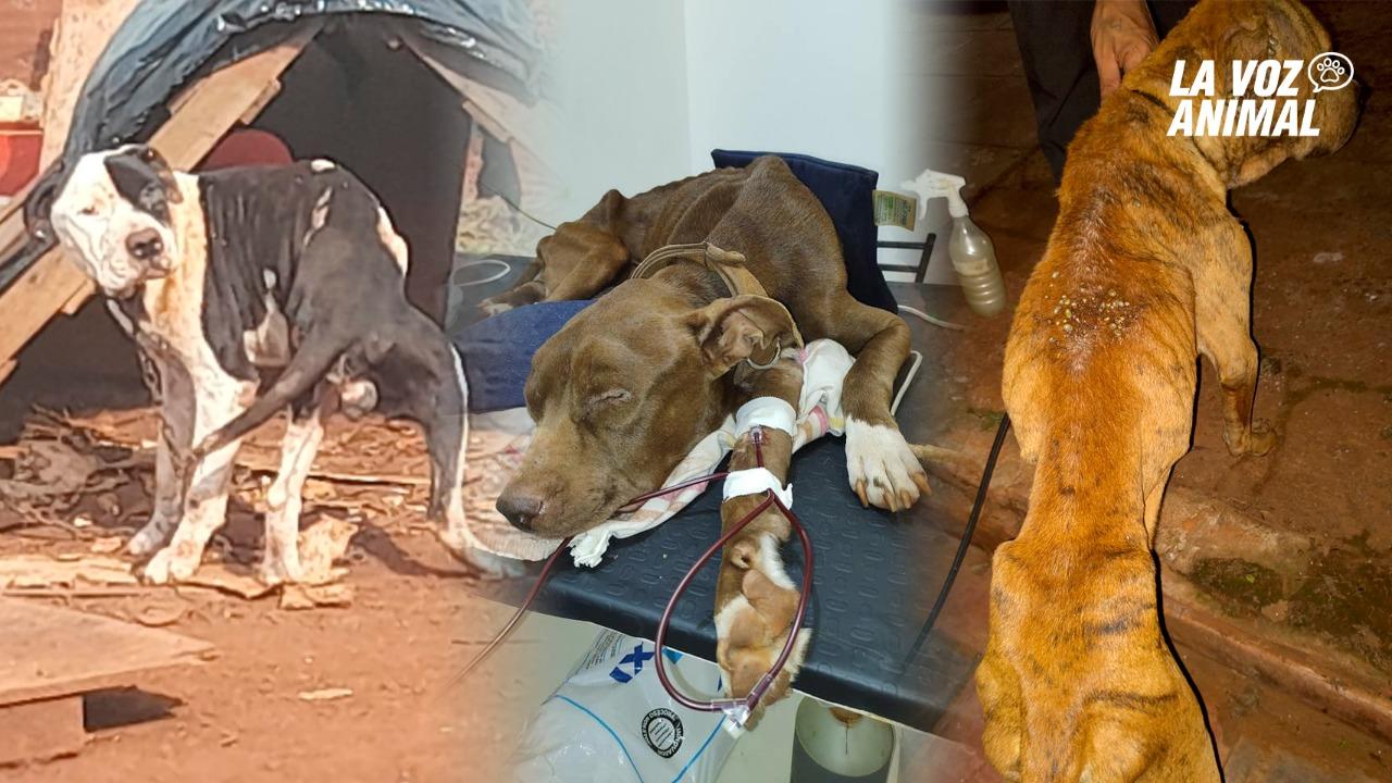 Rescatan tres pitbulls, dos murieron y uno necesita transfusión de sangre